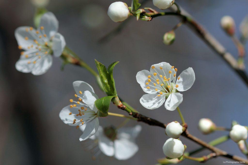 photo de fleurs: fleurs du prunier-cerise ou myrobolan photographiées le premier jour du printemps (21 mars 2019)
