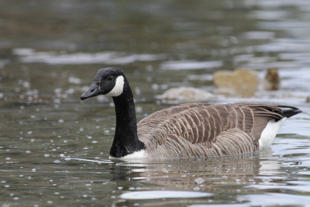 photo d'oiseau: Bernache du Canada photographiée le 21 avril 2019 près de la Perle du Lac, canton de Genève, Suisse