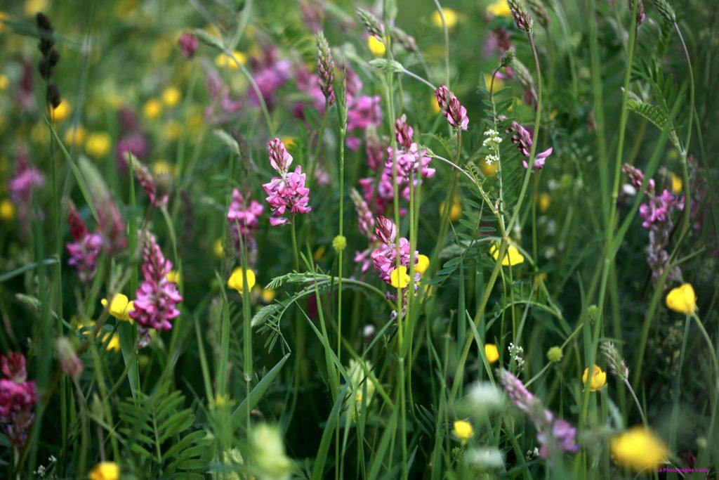 photo nature: Prairie fleurie photographiée le 12 mai 2019 au verger des Hutins au Grand-Saconnex, canton de Genève, Suisse