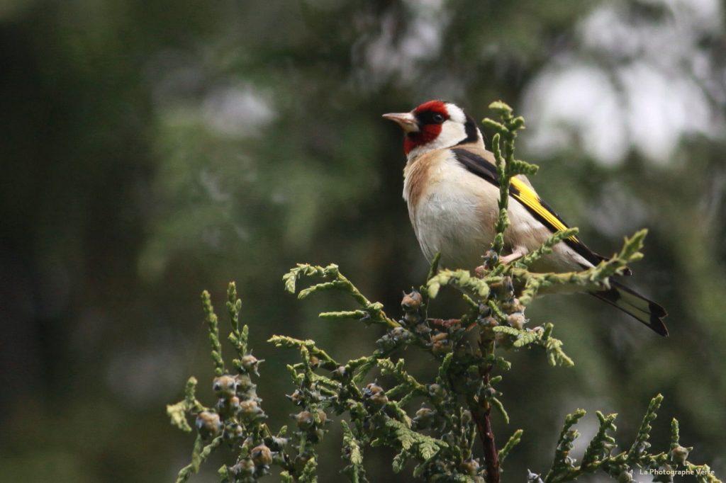 photo d'oiseau: chardonneret élégant photographié près de la Perle du Lac (canton de Genève, Suisse)