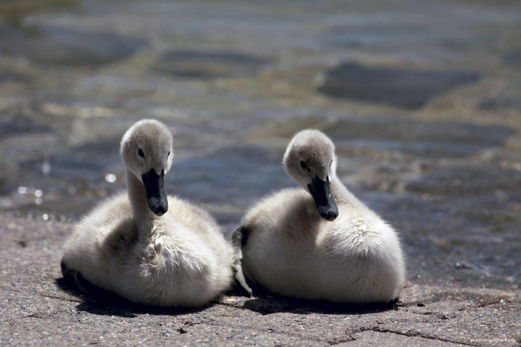 photo d'oiseau: Deux cygneaux photographiés le 16 juin 2019 près des bains des Pâquis dans le canton de Genève, Suisse