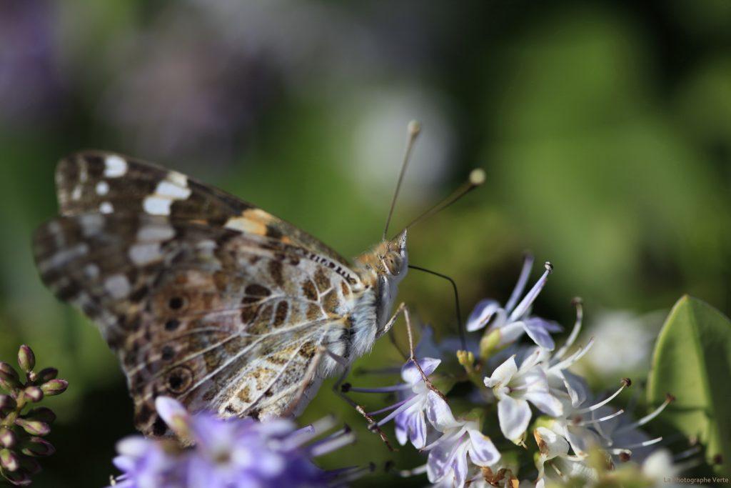 Photo macro: Papillon La Belle-Dame, appelé également La Vanesse des Chardons, photographiée le 3 juillet 2019 à Belle-Ile-en-Mer