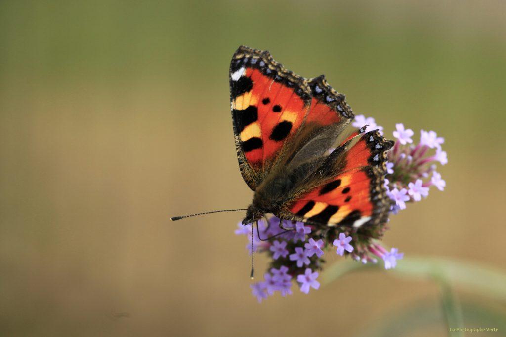 Photo macro: papillon la Petite Tortue appelée également la Vanesse de l'ortie photographié au Grand-Saconnex, canton de Genève, Suisse