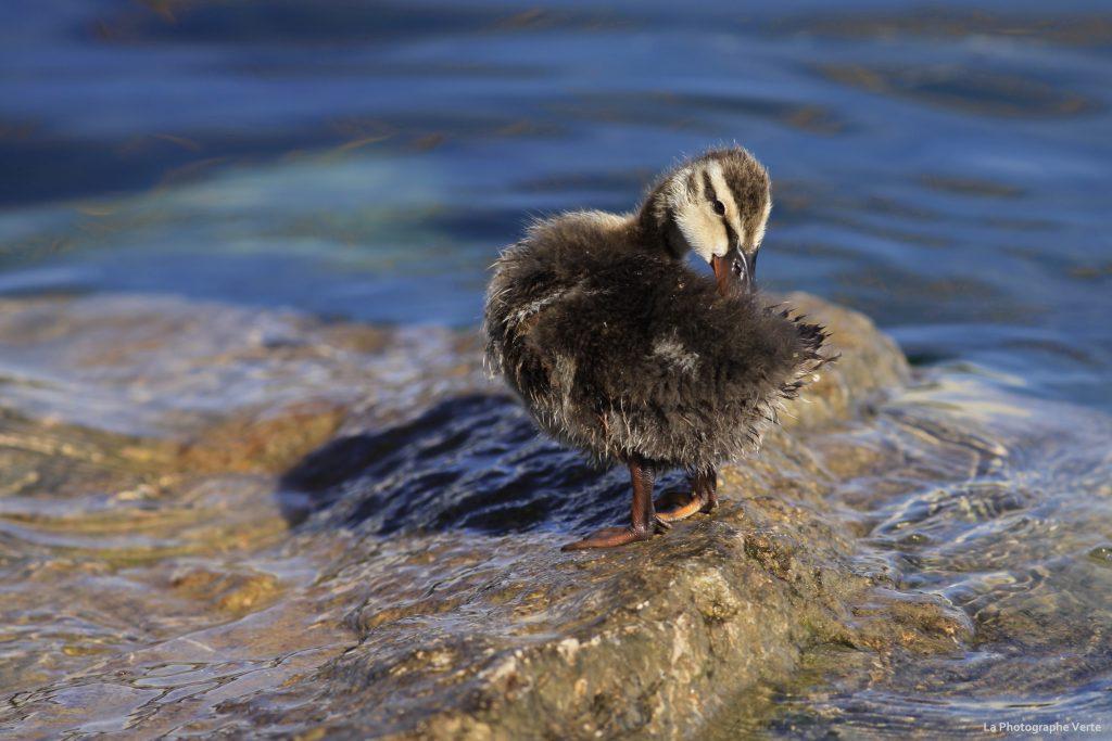 photo animalière : caneton colvert qui est en train de se toiletter sur les rives du Lac Léman à Genève, Suisse