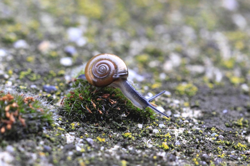 photo macro: minuscule escargot bleu (grand luisantI) descendant une motte de mousse