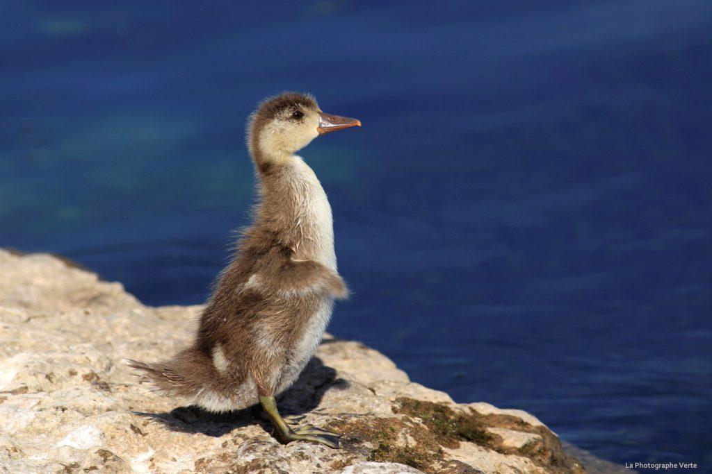 photo de canard: jeune nette rousse debout qui vient de secouer ses ailes