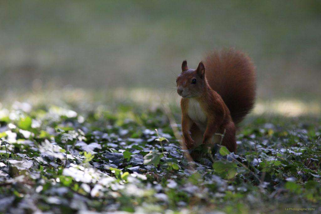 photo animalière: écureuil au sol