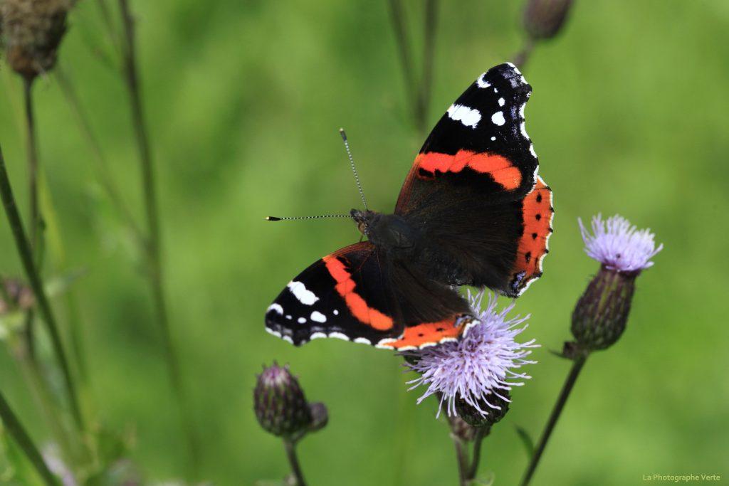 photo macro: papillon Vulcain photographié dans le Parc National Suisse dans les Grisons fin août 2019