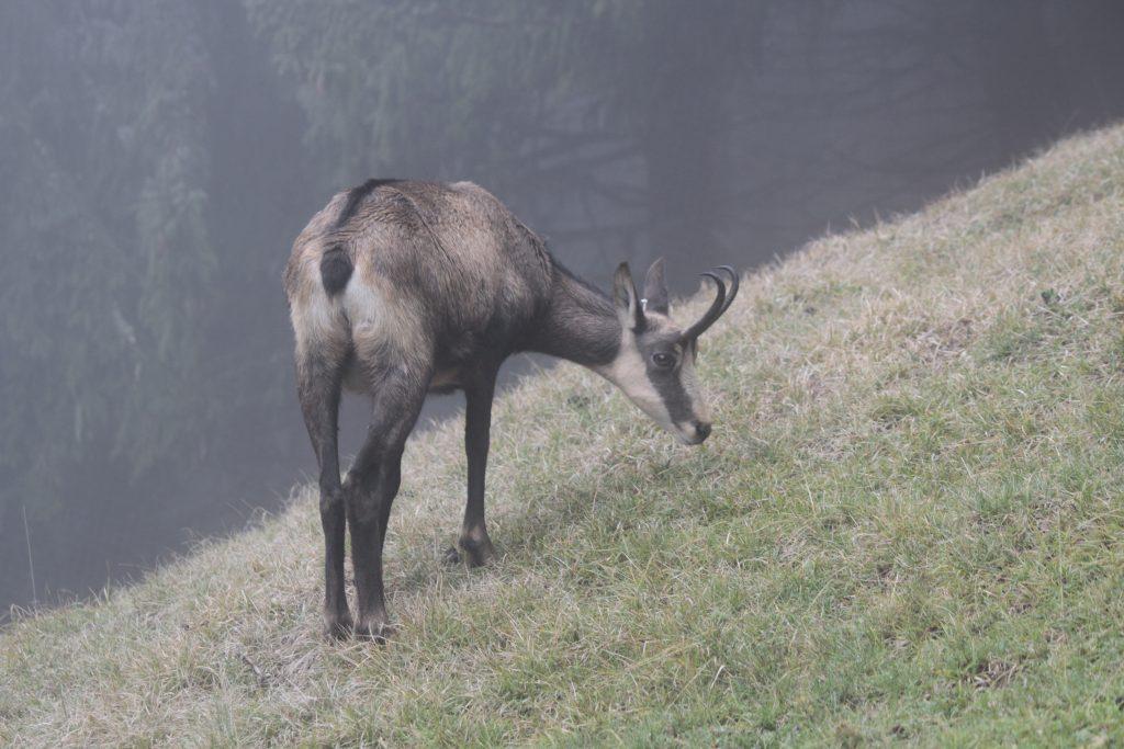 photo anmalière: chamois debout dans le brouillard