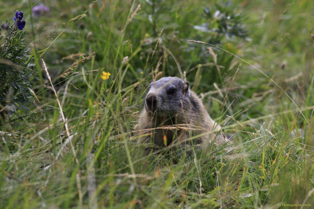 photo animalière: marmotte dans une prairie entourée de graminés et de fleurs