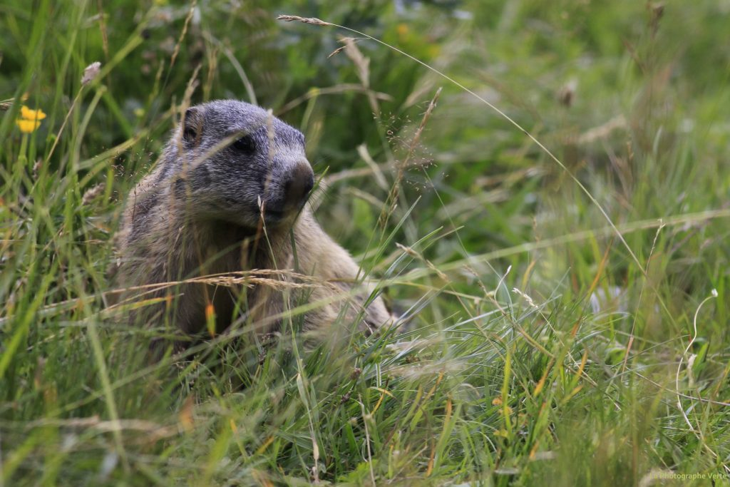 photo animalière: marmotte dans le Parc National Suisse entourée d'herbe et de fleurs