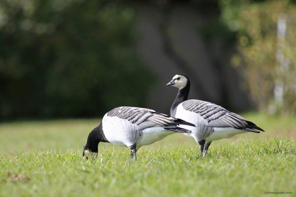 photo animalière: deux bernaches nonettes dans de l'herbe près du bord du lac au niveau du Creux de Genthod
