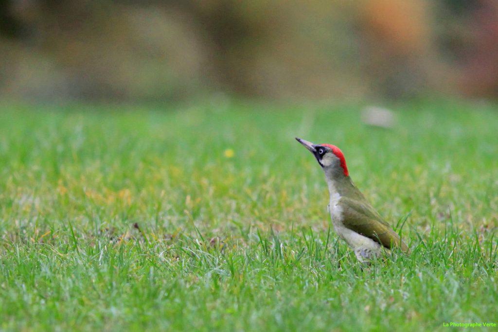 photo ornithologique: un pic-vert dans l'herbe photographié le 22 novembre au Grand-Saconnex, canton de Genève, Suisse