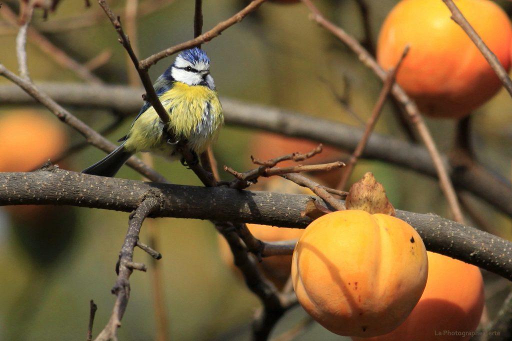 photo ornithologique: une mésange bleue sur un arbre à kaki