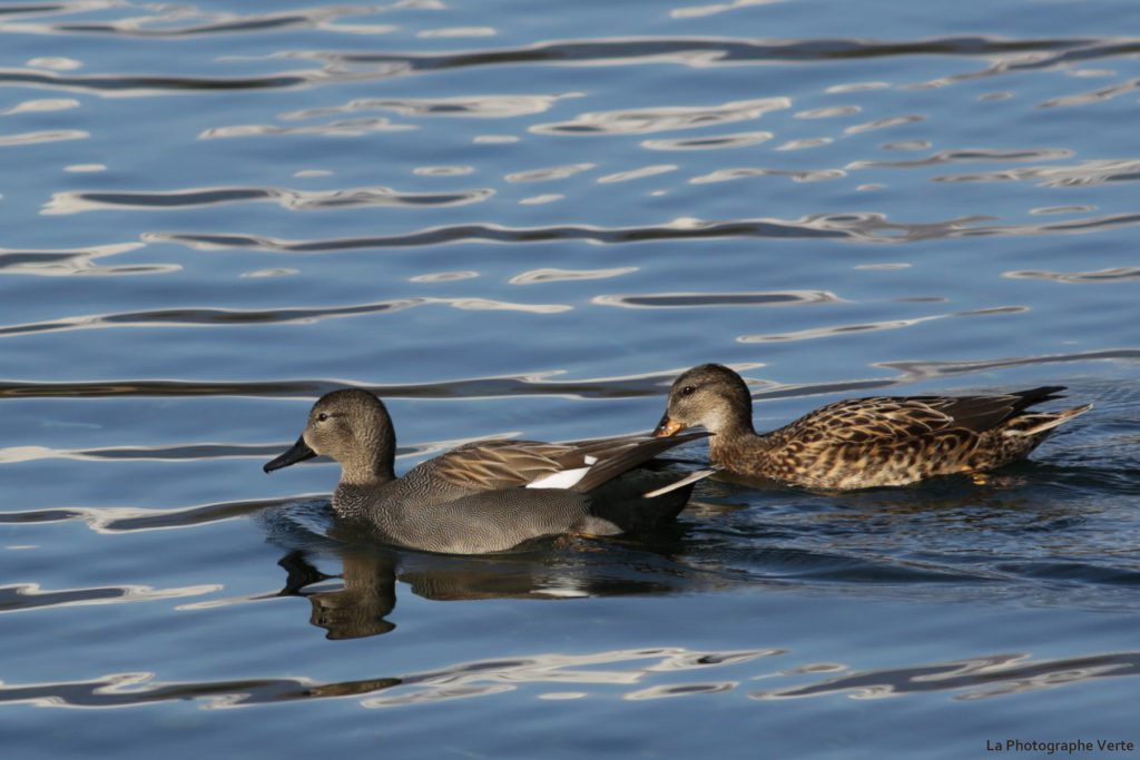 photo ornithologique: couple de canards chipeaux