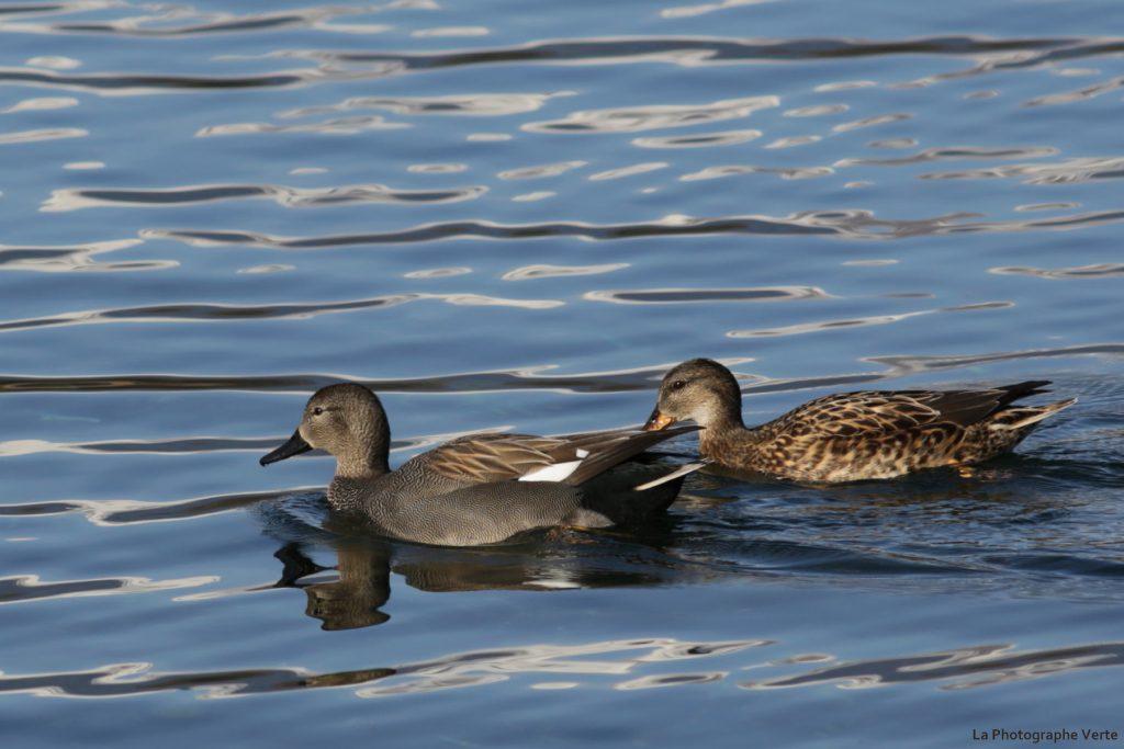 photo ornithologique: couple de canards chipeaux