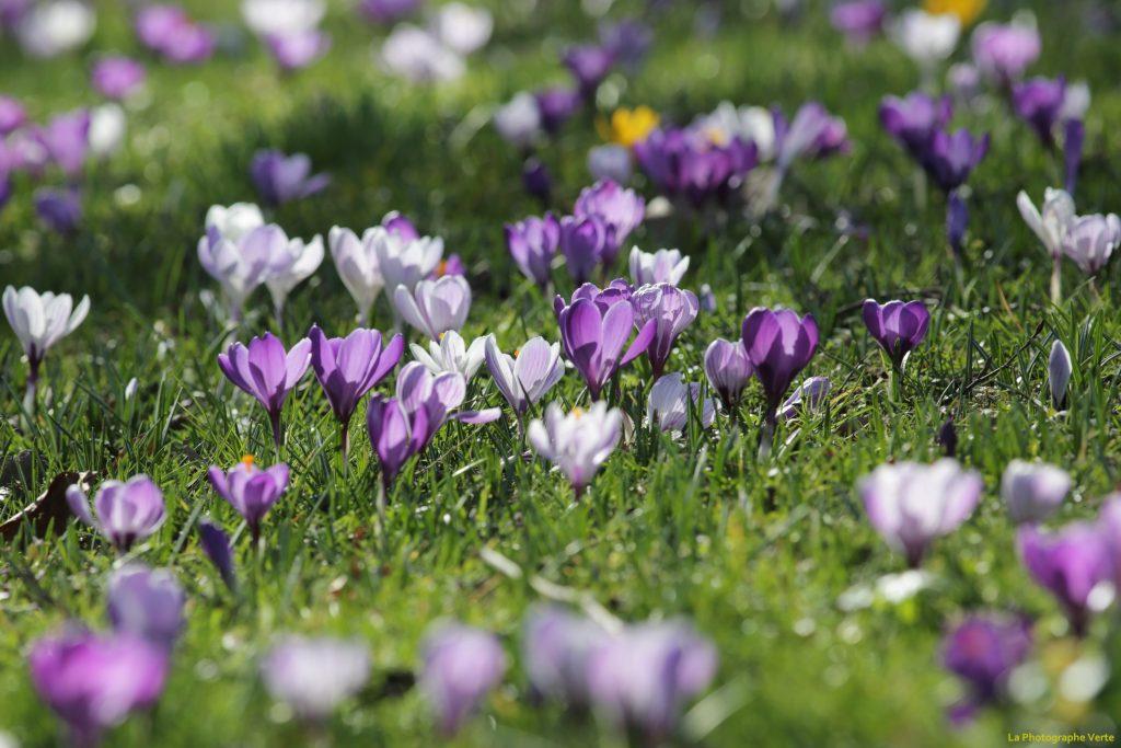 photo botanique: crocus violets et mauves à profusion