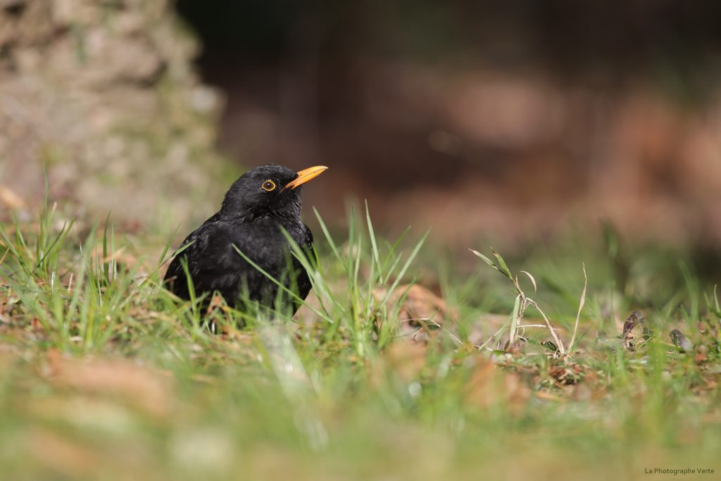 photo ornithologique: merle noir
