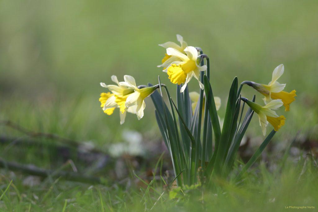 photo nature: narcisses jaunes ou narcisses trompettes souvent confondus avec les jonquilles