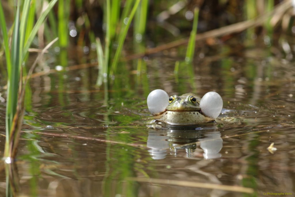photo animalière: grenouille de face qui croasse