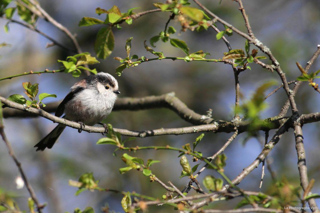 Photo ornitholoqique: mésange à longue queue (Aegithalos caudatus)photographiée au Grand-Saconnex dans le canton de Genève