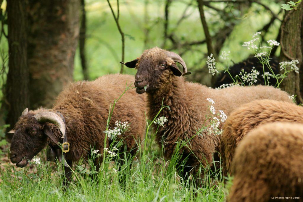 photo animalière: moutons roux du Valais en train de tondre les pâturages