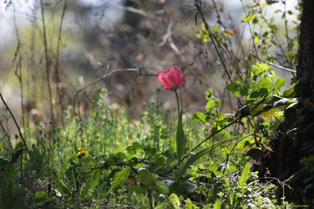 photo nature: tulipe rose domestique retournée à l'état sauvage