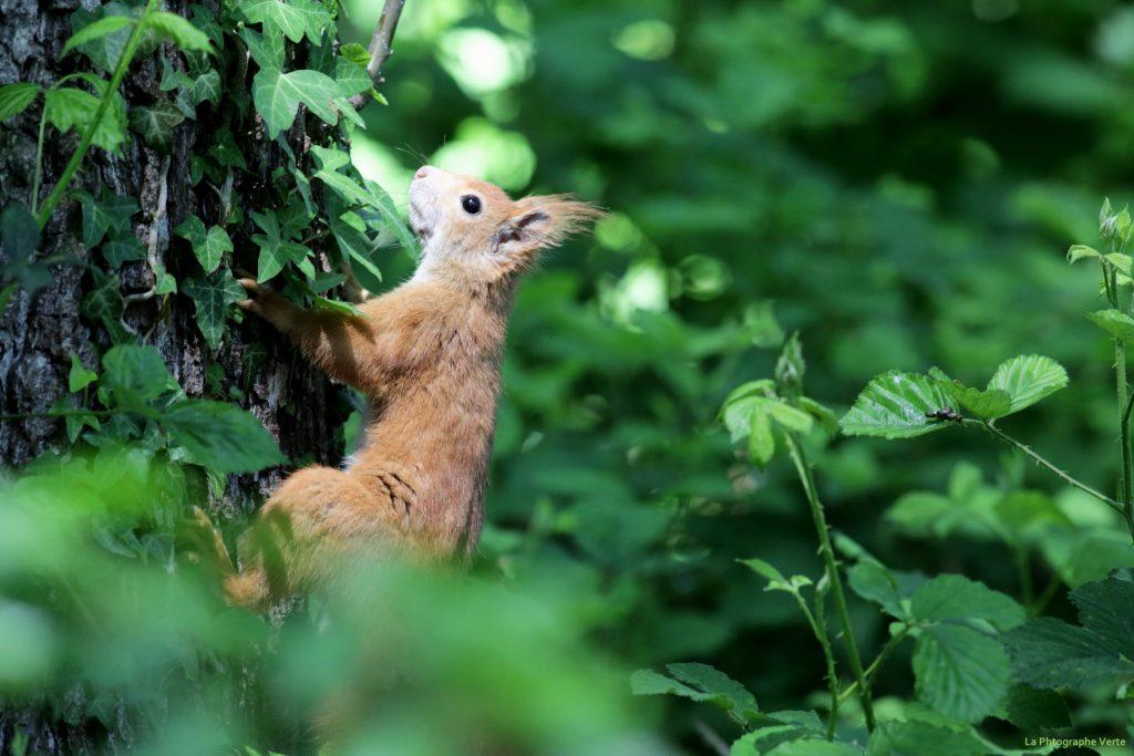 photo animalière: écureuil roux leucistique (pas albinos), écureuil roux très très clair, couleur sable ou caramel au lait