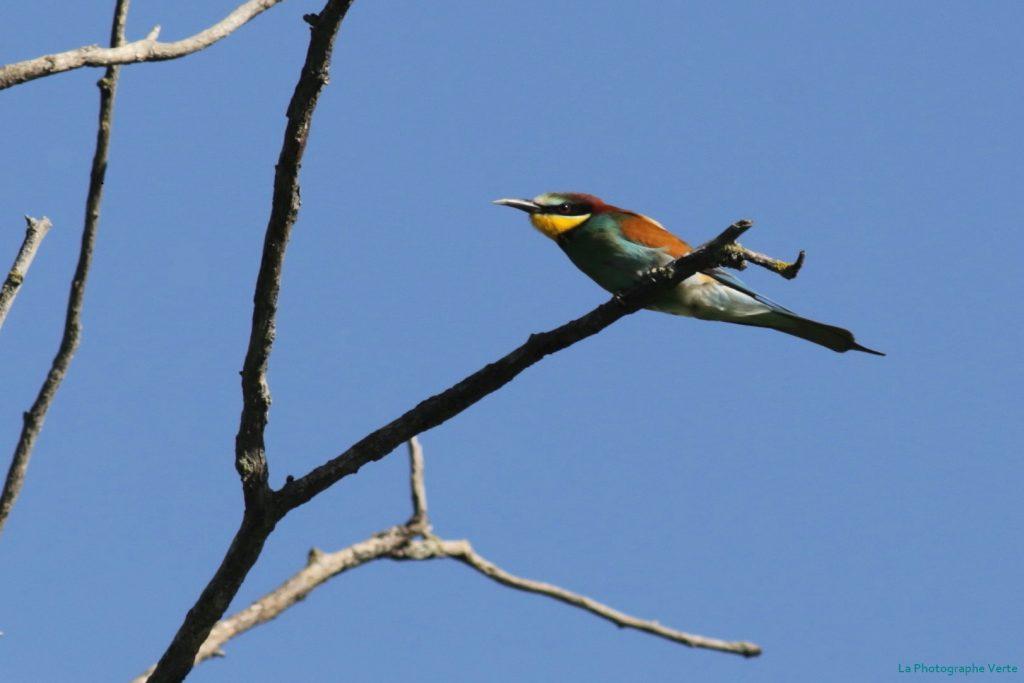 photo ornithologique: guêpier d'Europe sur une branche en haut d'un arbre