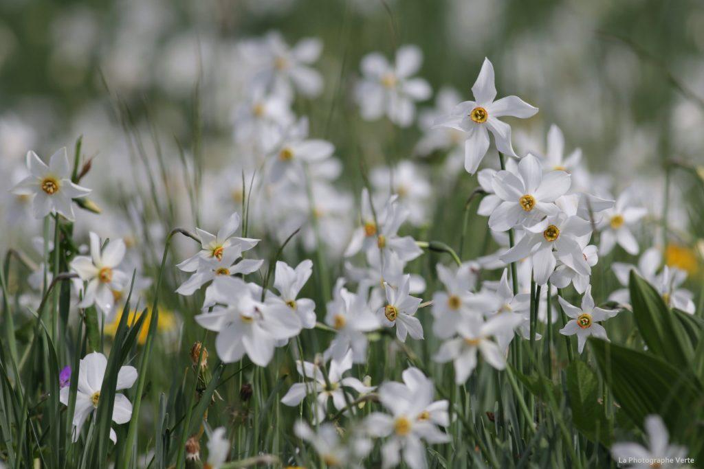 photographie botanique: pré de narcisses à Les Hauts-de-Caux photographié le 16 mai 2020
