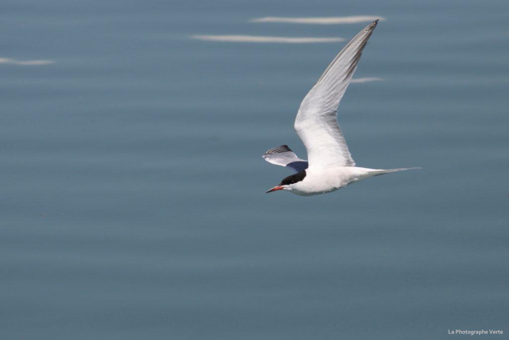 photo ornithologique: sterne pierregarin en vol près du barrage de Verbois dans le canton de Genève Suisse