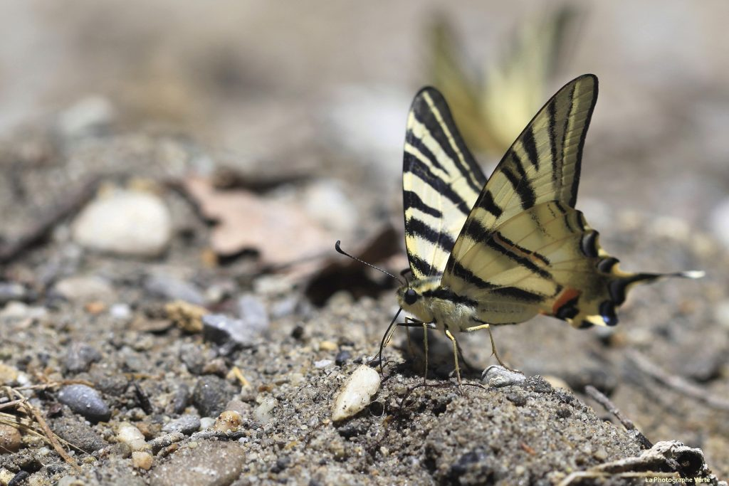 photographie macro: un papillon flambé posé au sol