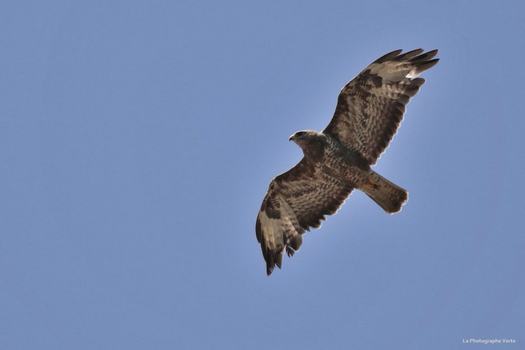photo ornitholigue: buse variable en vol