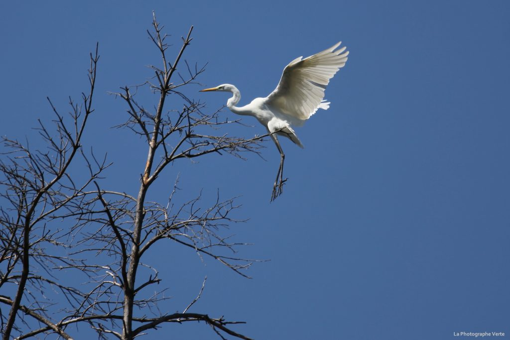 photo ornithologique: grande aigrette se perchant sur un arbre