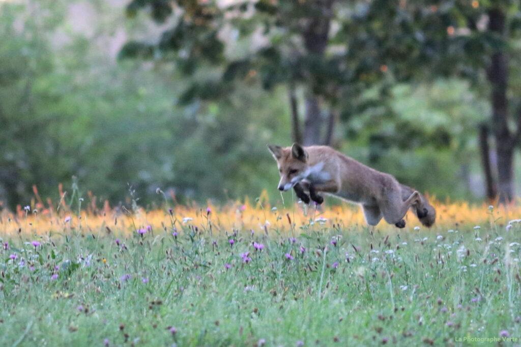 photographie animalière: renard qui mulote dans la campagne genveoise photographié en août 2020