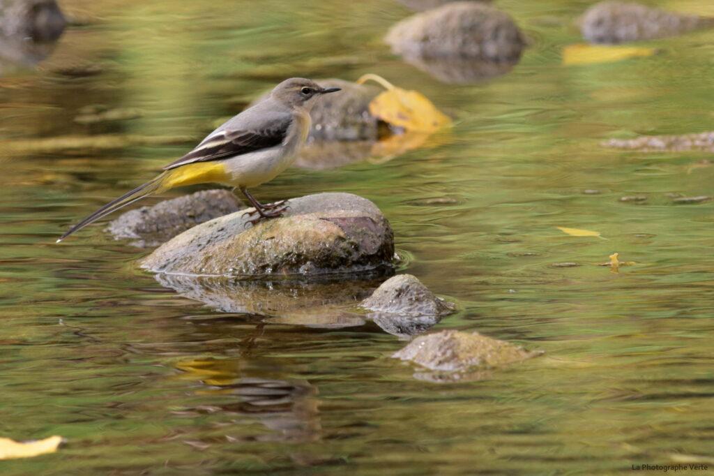 photo ornithologique: bergeronnette des ruisseaux photographié près du delta de l'Allondon, dans le canton de Genève, Suisse, le 19 septembre 2020