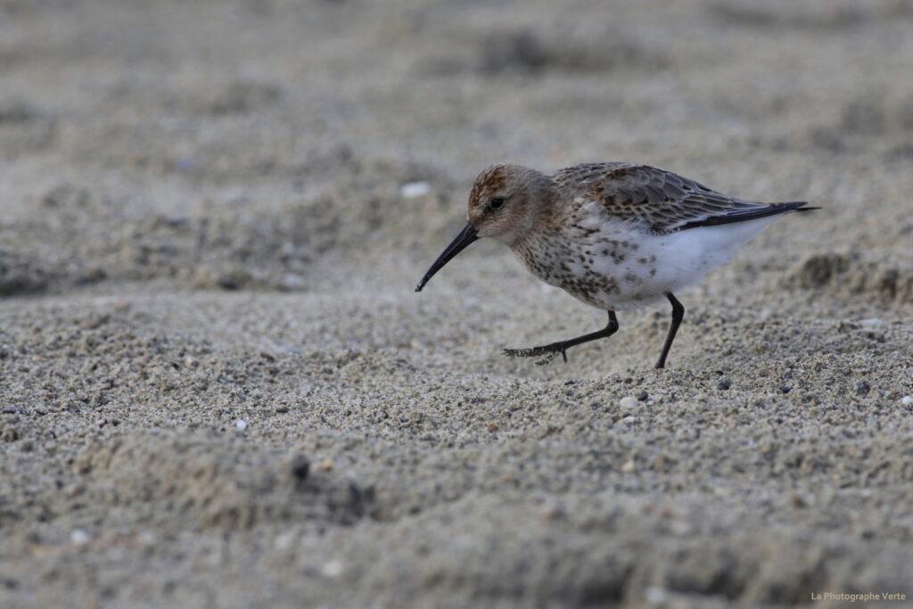 photo ornithologique: bécasseau variable marchant sur le sable de la Nouvelle Plage des Eaux-Vives le 11 ocotbre 2020