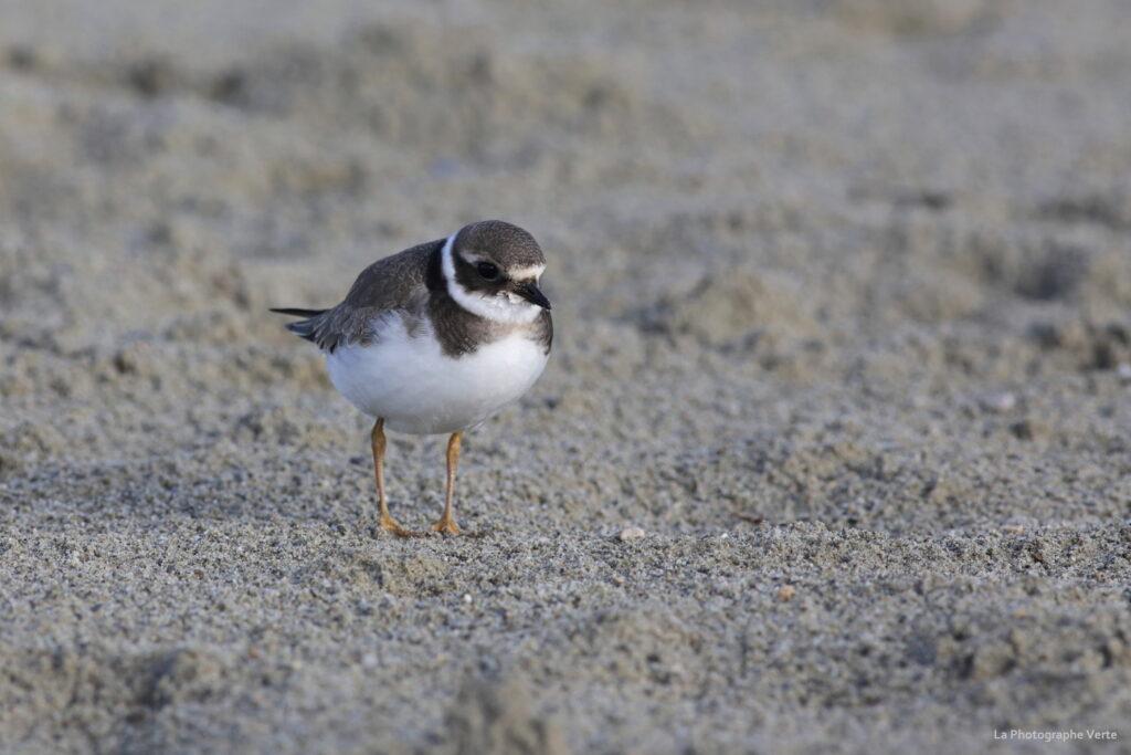 photo ornithologique: grand gravelot sur le sable de la Nouvelle Plage des Eaux-Vives, canton de Genève, Suisse