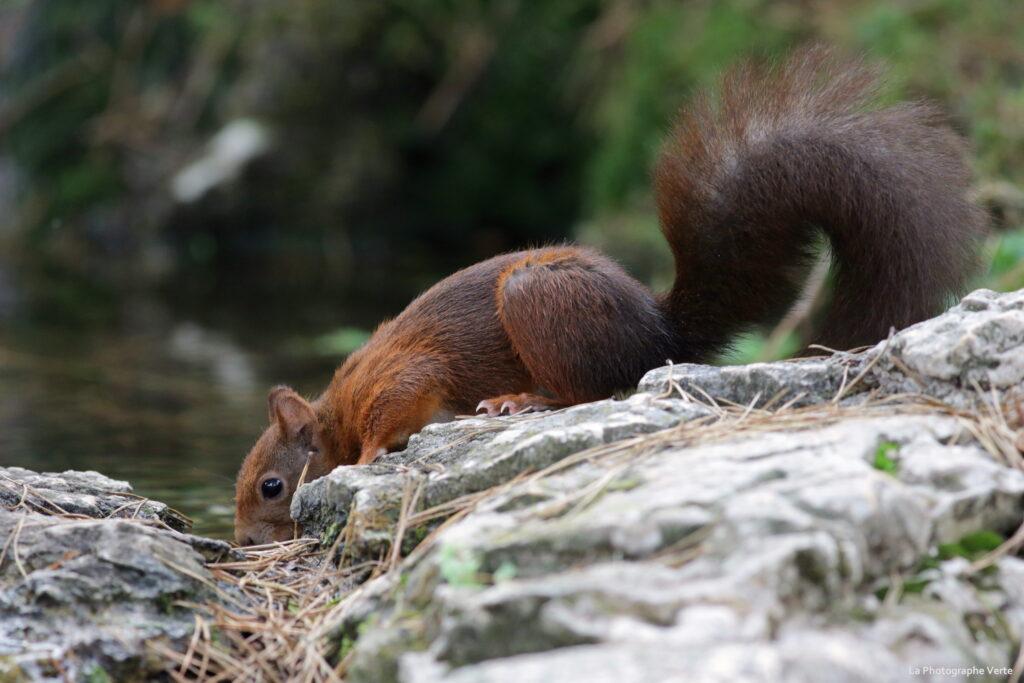 photographie animalière: écureuil roux qui boit photographié en novembre 2020 dans le canton de Genève, Suisse