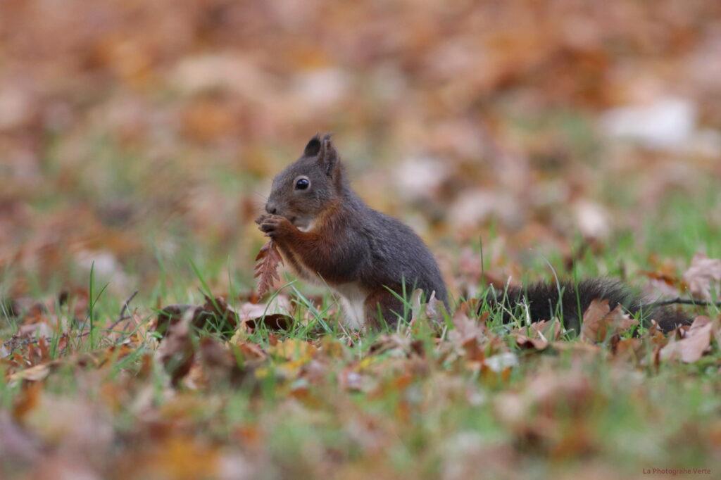 photo animalière: écureuil au milieu de feuilles d'automne photographié le 11 novembre dans le Jardin botanique de Genève; Suissse