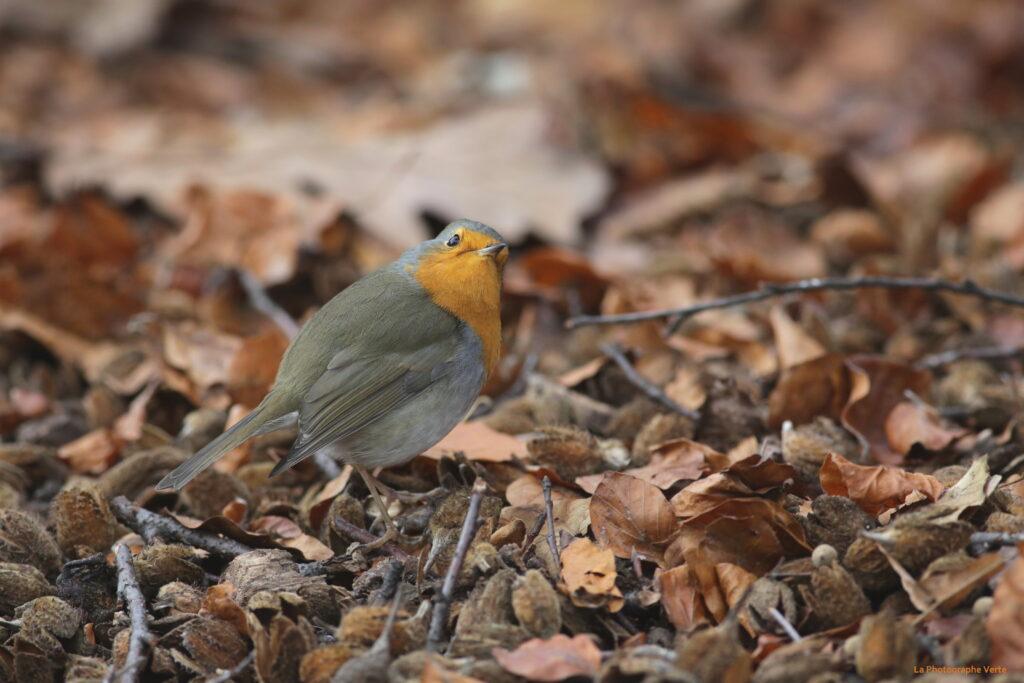 photographie ornithologique: rougegorge familier au milieu des feuilles d'automne photographié le 8 novembre au Jardin botanique de Genève, Suisse