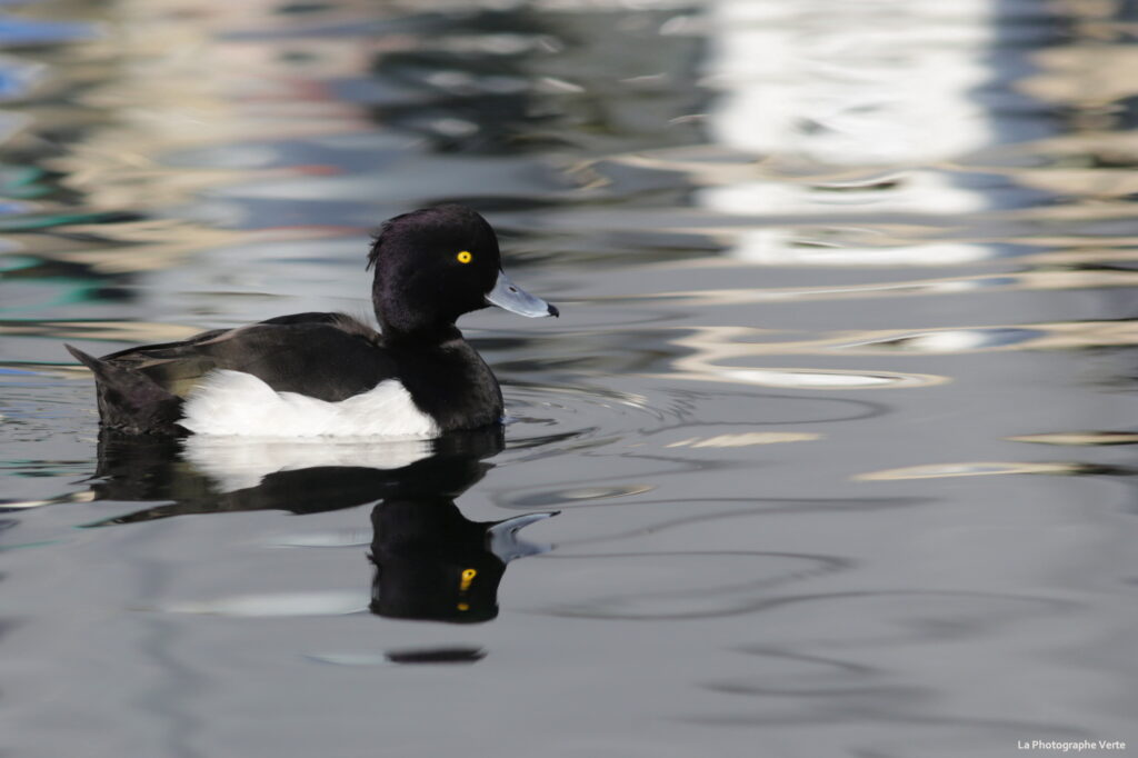 photographie ornithologique: fuligule morillon surle lac Léman photographié le 6 décembre 2020 au port de Choiseul près de Versoix, canton de Genève, Suisse