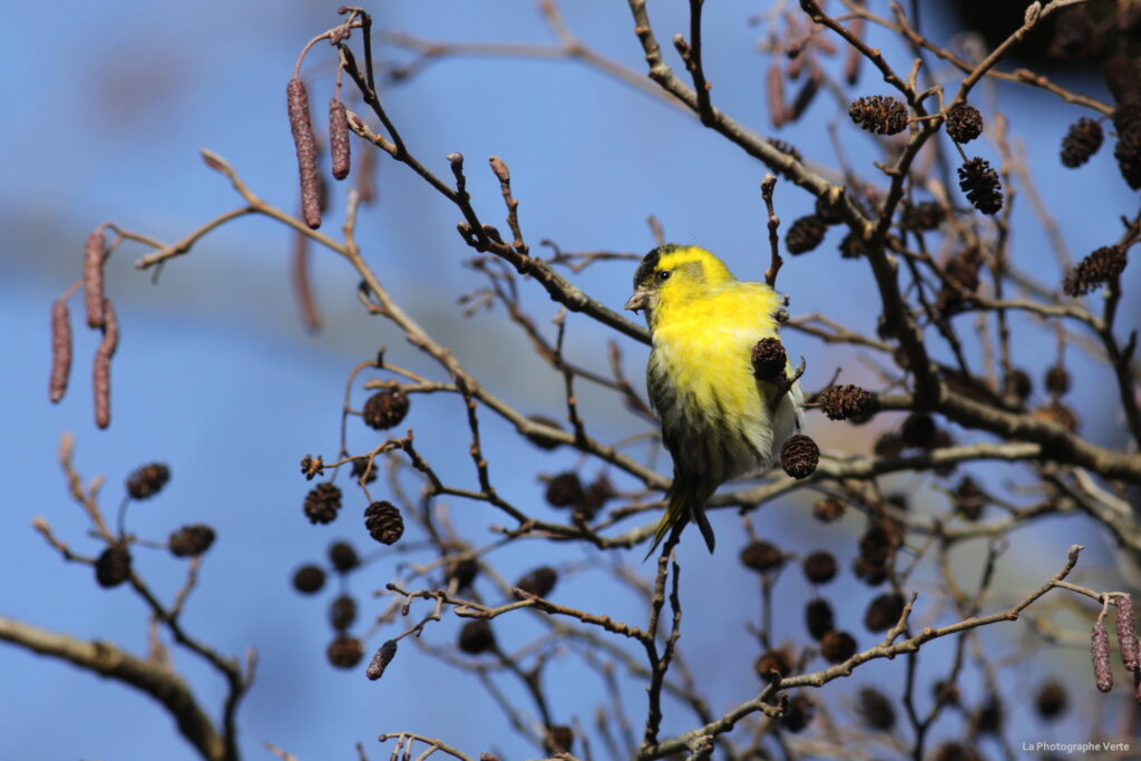Photp ornithologique: tarin des aulnes, oiseau jaune avec une calotte noire, perché sur un aulne le long de l'Aire à Perly-Certoux, canton de Genève, Suisse