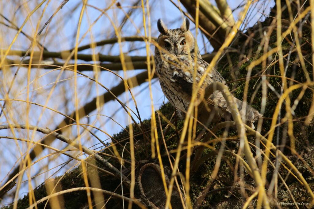 Photo ornithologique: hibou moyen-duc, les yeux ouvert, photographié en journée à 20 km de Genève le 10.01.2021