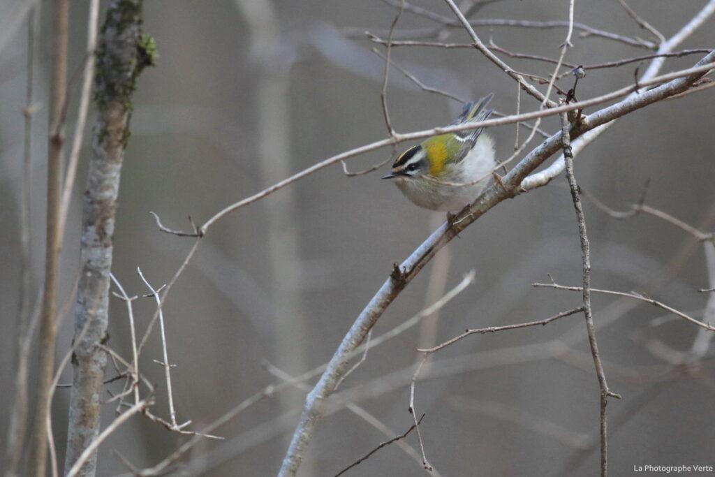 photographie ornithologique: roitelet à triple bandeau photographié le 10 janvier dans les bois de Versoix, étang des Douves, canton de Gnève, Suisse