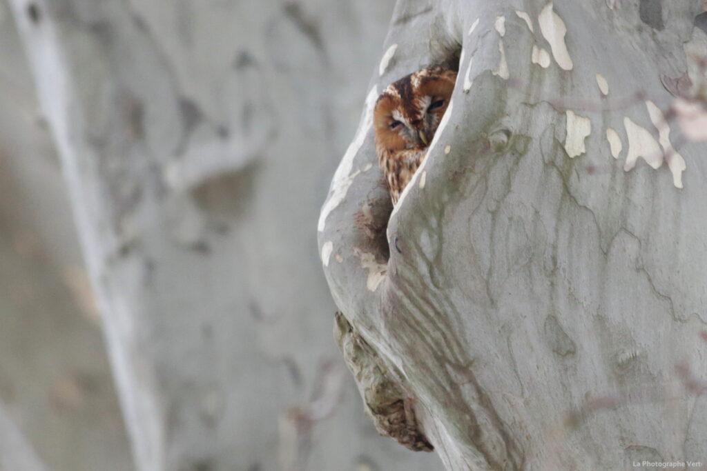 photo ornithologique: chouette hulotte dans un platane photographiée le 14 février dans le canton de Genève, rive droite