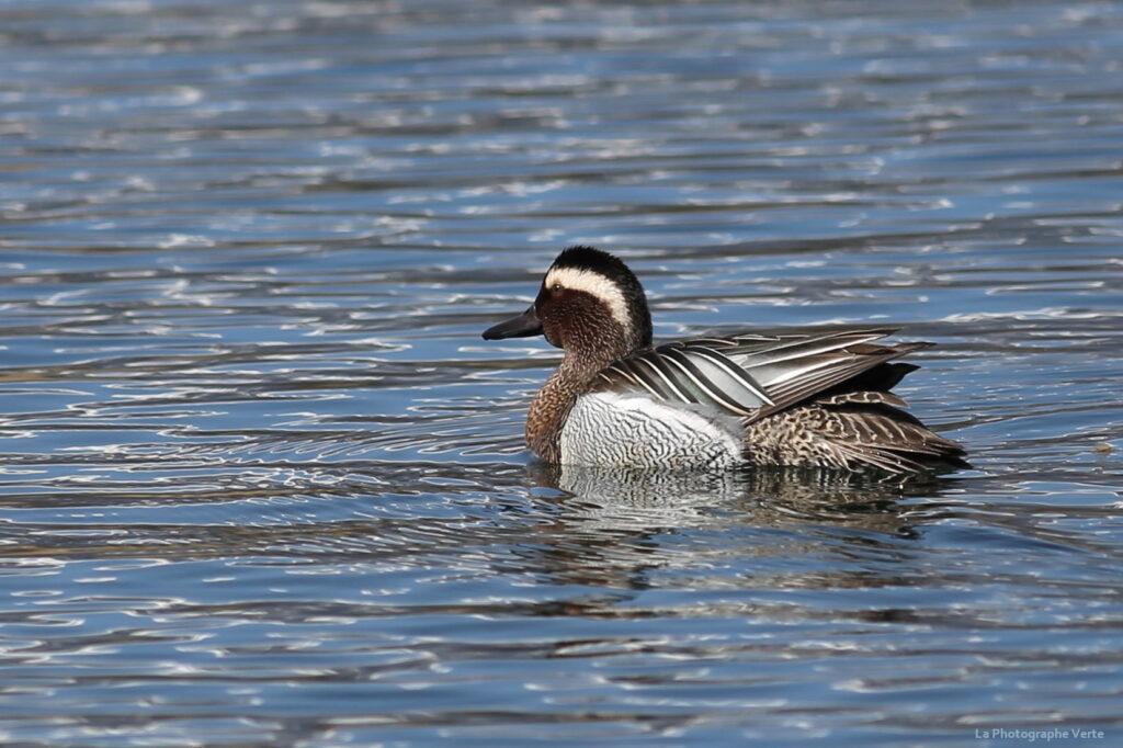 photo ornithologique: sarcelle d'été mâe (anas querquedula) photographié le 20 mars sur la lac des Vernes, à Meyrin, canton de Genève, Suisse