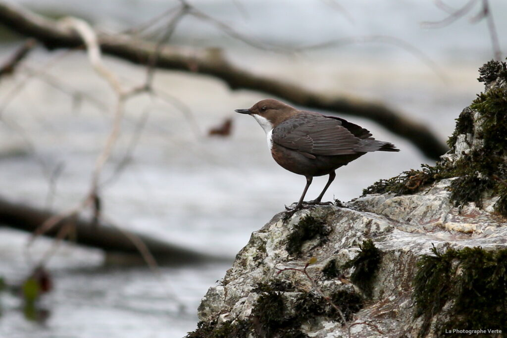 photo ornithologique: cincle plongeur (cinclus cinclus) photographié le 14 mars 2021