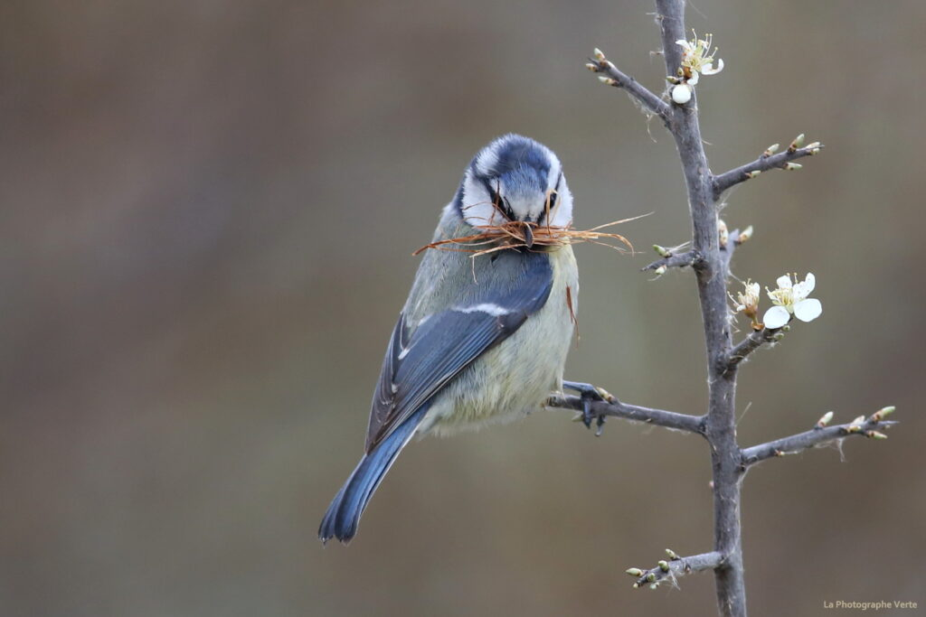 photo ornithologique: mésange bleue (cyanistes caeruleus) avec des brindilles dans le bec afin de préparer un nid photographiée le 10 avril 2021 au Lac des Vernes, à Meyrin, canton de Genève, Suisse